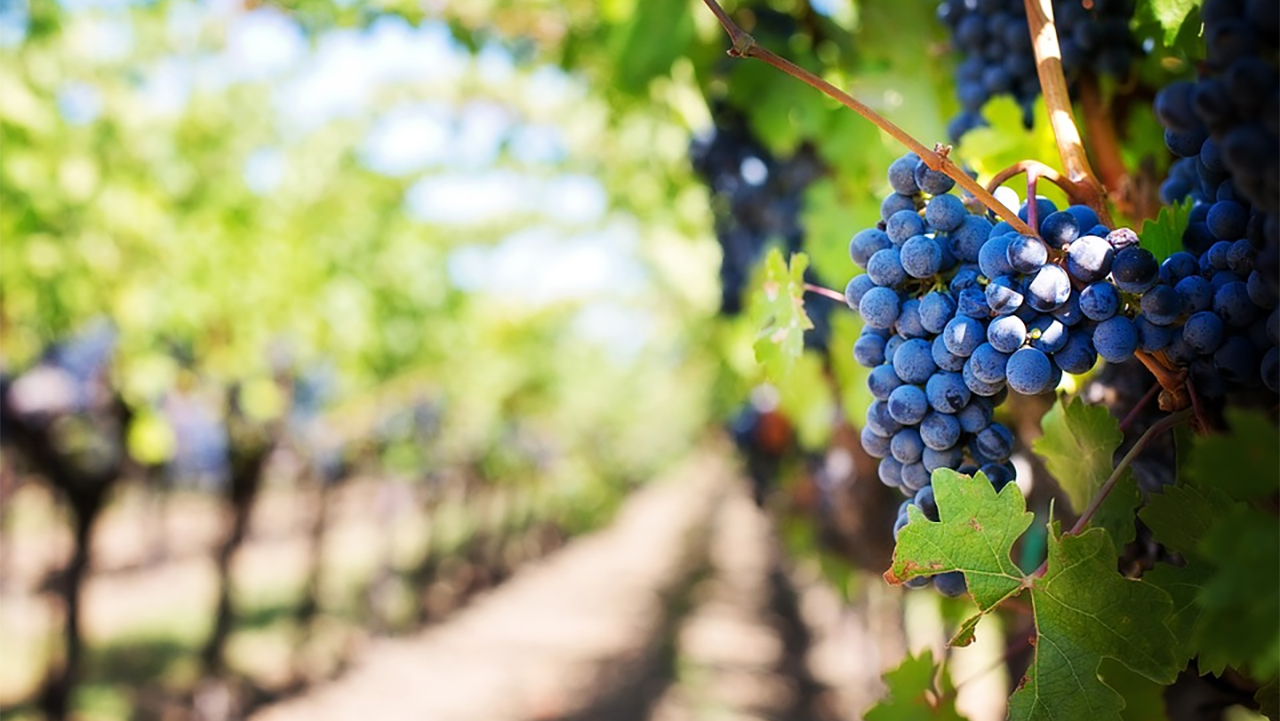 An upclose view of a bundle of grapes with a long shot down a vineyard row in the periphery