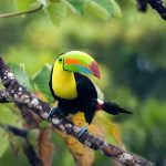 Keel-billed Toucan, shot in Panama.