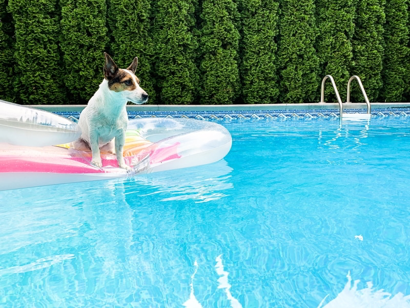 Outdoor swimming pool with a Jack Russel Terrier in inflatable pool float.